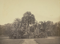Group of palms in the Gardens at Peradenia near Kandy